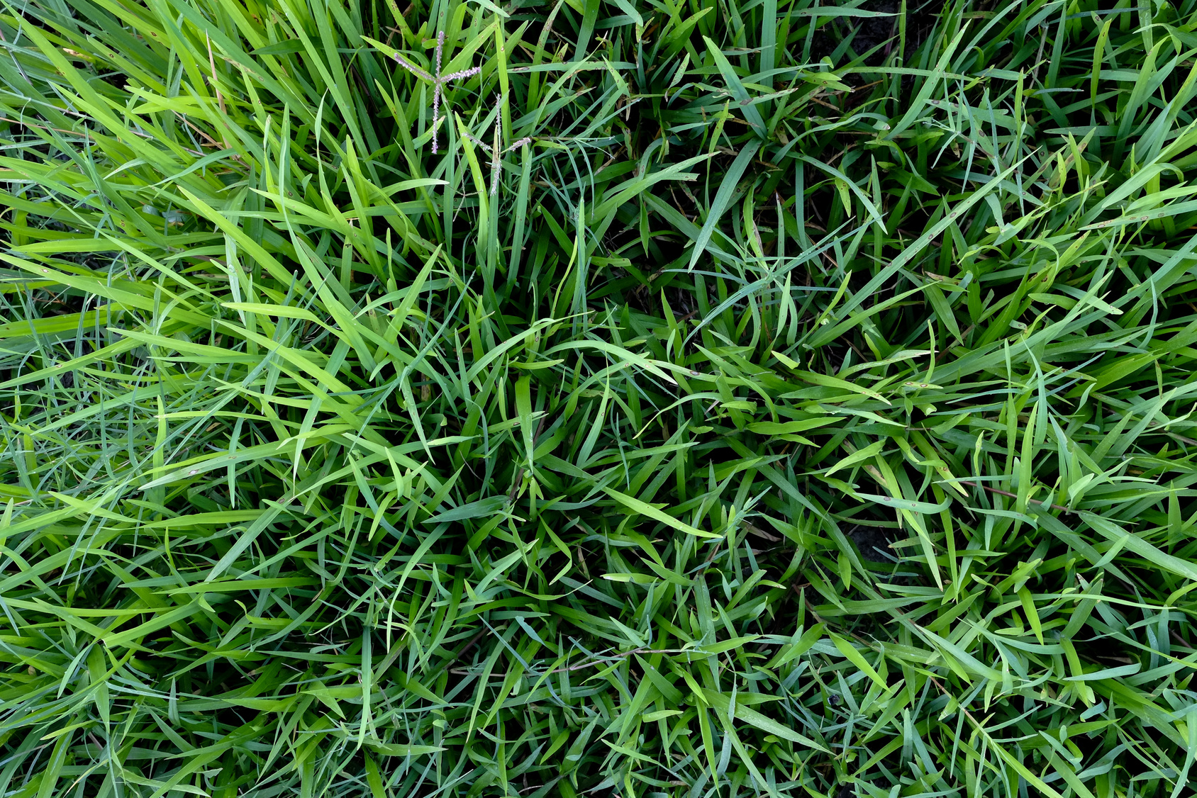 the importance of fungicide against large patch in zoysia